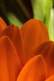 Beaux pétales audacieux et colorés de marguerite orange sur un fond vert Photos libres de droits