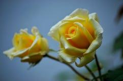 Beaux pétales de rose et usines photos libres de droits