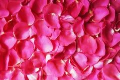 Beaux pétales de rose frais photos stock