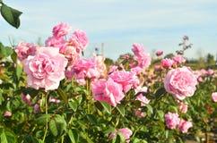 Beaux pétales de rose roses avec des baisses Photo libre de droits