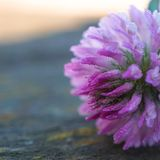 Beaux pétales roses de fleur décoratifs images libres de droits