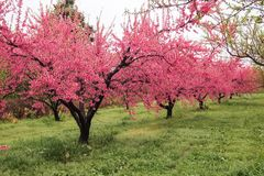 Beaux pêchers fleurissants chez Hanamomo aucun Sato, Iizaka Onsen, Fukushima, Japon Photos libres de droits