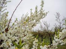 Beaux pêchers fleurissants chez Hanamomo aucun Sato, Iizaka Onsen, Fukushima, Japon Photos stock