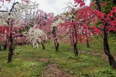 Beaux pêchers fleurissants chez Hanamomo aucun Sato, Iizaka Onsen, Fukushima, Japon Images stock