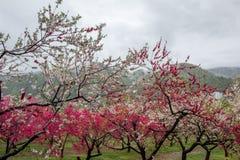 Beaux pêchers fleurissants chez Hanamomo aucun Sato, Iizaka Onsen, Fukushima, Japon Image libre de droits