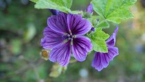 Beaux papiers peints avec les fleurs sauvages de lila Photographie stock