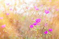 Beaux pavots roses dans le domaine herbeux avec couler de lumière du soleil Photos libres de droits