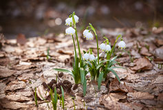 Beaux perce-neige frais en premier ressort Image libre de droits