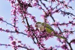 Beaux perroquets anneau-?trangl?s sauvages de perruche mangeant les fleurs roses de l'arbre de judas photographie stock
