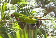 Beaux perroquets colorés photographie stock