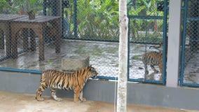Beaux petits animaux dans une cage, après eux passages un tigre et des regards différents autour banque de vidéos