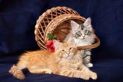 Beaux petits chatons Photo stock