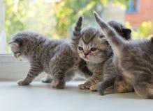 Beaux petits chatons rayés sur le filon-couche de fenêtre Race de pli d'écossais Photos stock