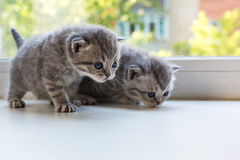 Beaux petits chatons rayés sur le filon-couche de fenêtre Race de pli d'écossais Photographie stock libre de droits