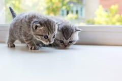Beaux petits chatons rayés sur le filon-couche de fenêtre Race de pli d'écossais Images stock