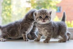 Beaux petits chatons rayés sur le filon-couche de fenêtre Race de pli d'écossais Image libre de droits