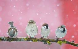 Beaux petits oiseaux de Noël se reposant sur une branche dans l'orphie photo stock