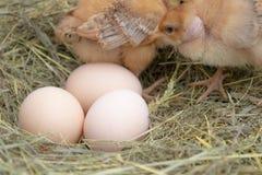 Beaux petits poulet, oeufs et coquille d'oeuf dans les poussins nouveau-n?s de nid ? la ferme de poulet images libres de droits