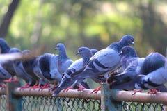 Beaux pigeons étés perché sur une barrière photo stock