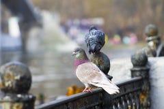 Beaux pigeons en parc Images stock