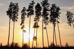 Beaux pins grands au coucher du soleil Images stock