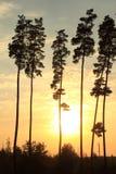 Beaux pins grands au coucher du soleil Photographie stock libre de droits