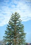 Beaux pins presque s'élevant à la maison photographie stock libre de droits
