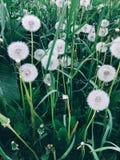 Beaux pissenlits et herbe blancs en parc Photo libre de droits