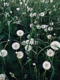 Beaux pissenlits et herbe blancs en parc Images libres de droits