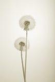 Beaux pissenlits sur le blanc. Sépia Images stock