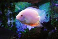 Beaux poissons Image libre de droits
