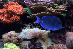 Beaux poissons bleus vivant dans une vie d'océan profond Image libre de droits