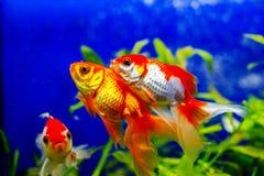 Beaux poissons d'or d'aquarium Photographie stock libre de droits