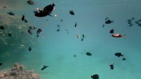 Beaux poissons de différentes tailles sur le fond d'un récif coralien Animaux marins vivants dans leur environnement naturel banque de vidéos