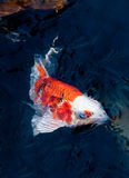 Beaux poissons de koi images libres de droits