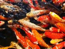 Beaux poissons de koi du Japon de frénésie dans l'étang images libres de droits