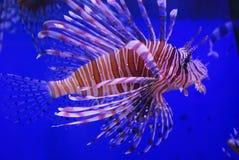 Beaux poissons de lion Photos libres de droits