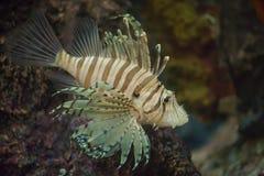 Beaux poissons de lion photo stock