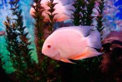 Beaux poissons roses Photo libre de droits