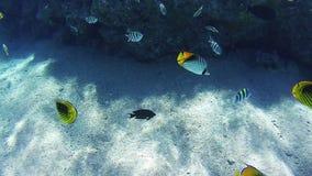 Beaux poissons tropicaux colorés sur Coral Reefs Underwater vibrante en Mer Rouge clips vidéos