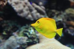 Beaux poissons tropicaux jaunes avec le backgrou de corail Photographie stock