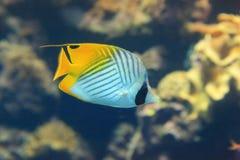 Beaux poissons tropicaux jaunes dans l'océan Photo libre de droits