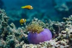 Beaux poissons tropicaux jaunes près des coraux chez les Maldives Photos libres de droits