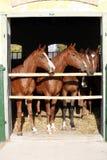 Beaux poulains de pur sang regardant au-dessus de la porte stable Photos libres de droits