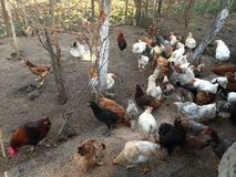 Beaux poulets heureux Photographie stock libre de droits