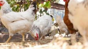 Beaux poulets marchant à travers la cour dans le village banque de vidéos
