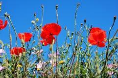 Beaux prés rouges de pavots et le ciel Photos libres de droits