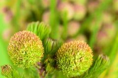 Beaux proteus fleurissent sur le fond vert clair, FO sélectives Photos libres de droits