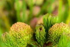 Beaux proteus fleurissent sur le fond vert clair, FO sélectives Images stock