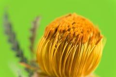 Beaux proteus fleurissent sur le fond vert clair, FO sélectives Photo stock
